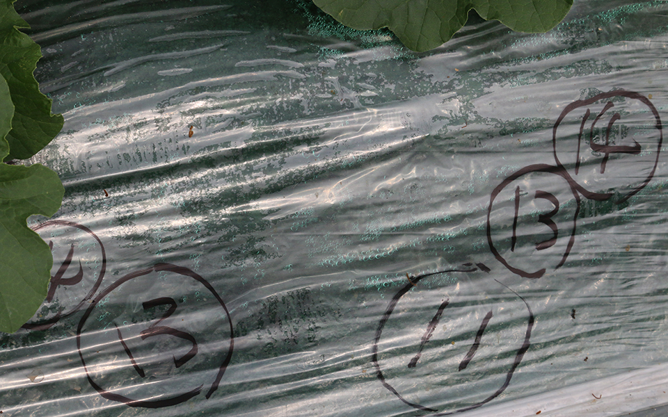 メロン栽培画像33