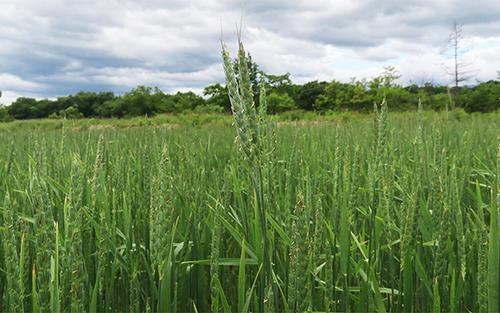 スペルト小麦畑の画像